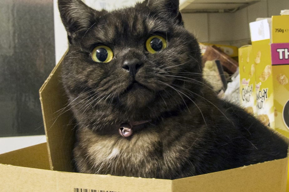 Utrechtse onderzoekers ontdekken waarom katten in dozen willen zitten