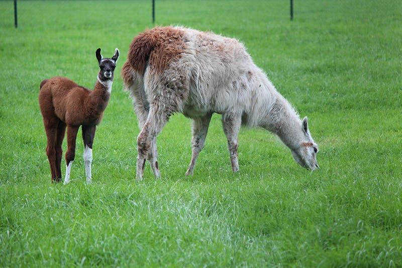Gratis op te halen lama in achtertuin zorgt voor ophef in Utrecht