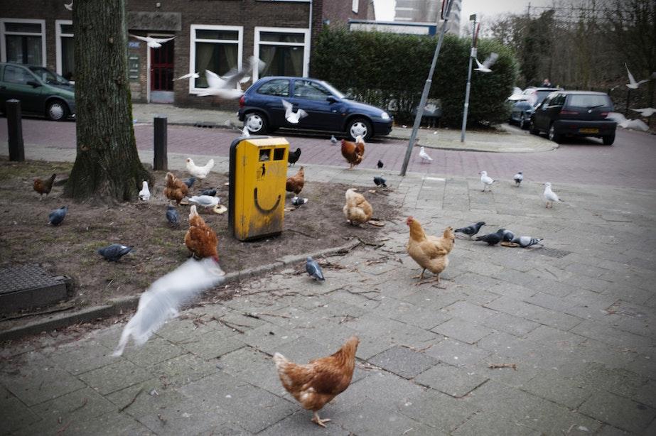 Verwilderde kippen in de stad: de gemeente heeft er geen problemen mee als de bewoners dit ook niet hebben