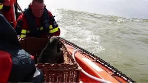"""Zeehond Dafne is weer terug in zee: """"Het ga je goed!"""""""