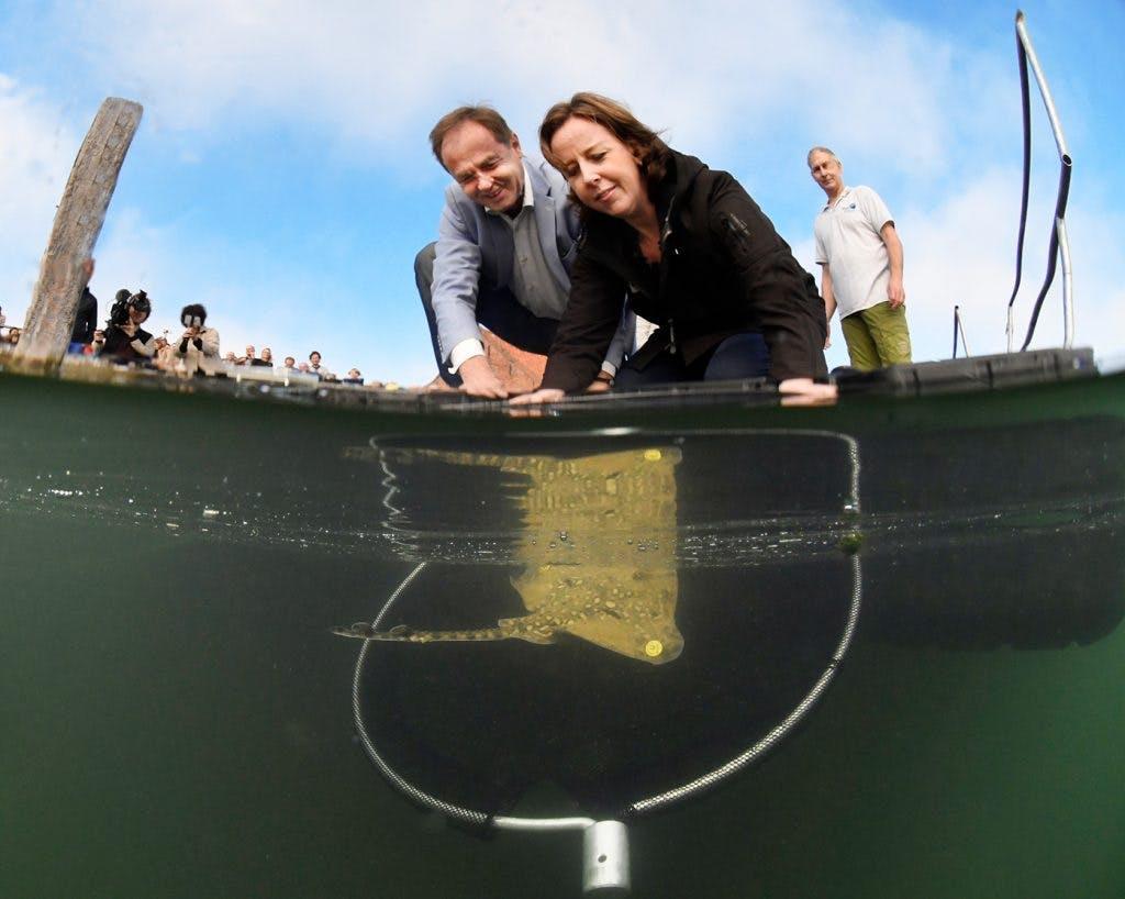 Utrechtse roggen nemen duik in Oosterschelde