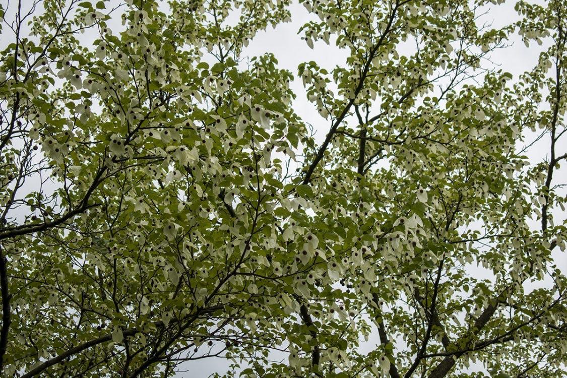 Zeldzame Vaantjesboom bloeit in tuin Universiteitsmuseum