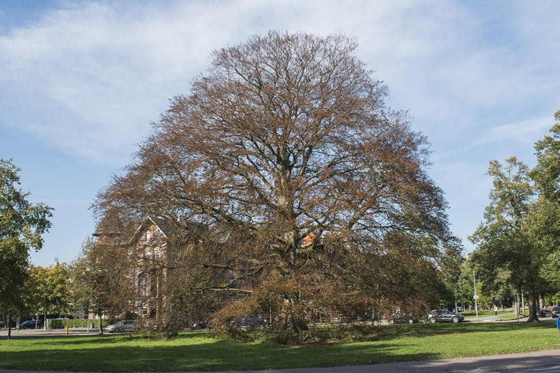 Einde lijkt in zicht voor monumentale 170-jarige rode beukenboom