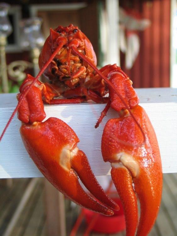 Utrechtse ondernemers willen stoppen met de verkoop van levende kreeften, krabben en vissen