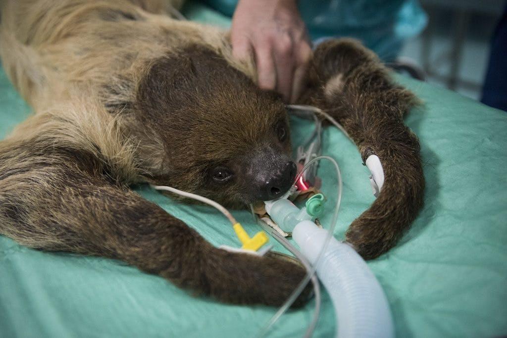 Bijzondere operatie in Utrecht: tenen van luiaard rechtgezet
