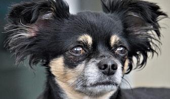Vrouw met 26 chihuahua's moet honden wegdoen van gemeente