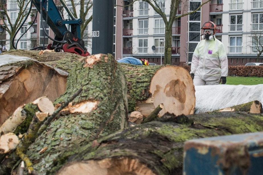 Bomen gekapt vanwege de vondst van roetschorsziekte