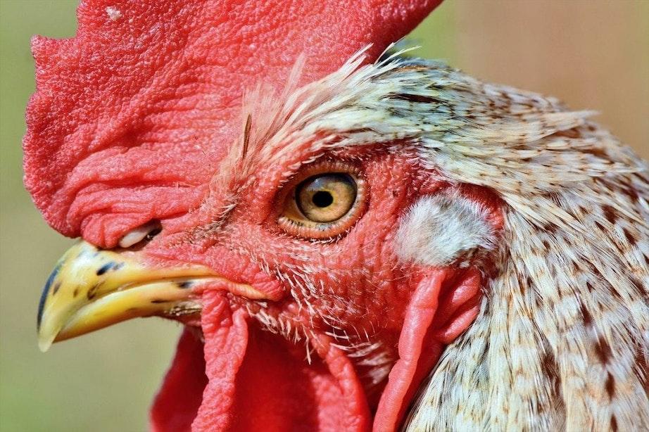 Gedumpte hanen in Utrechts Julianapark mogen voorlopig blijven