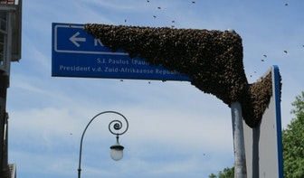 Bijenzwerm neemt tijdelijk bezit van Utrechtse Krugerstraat