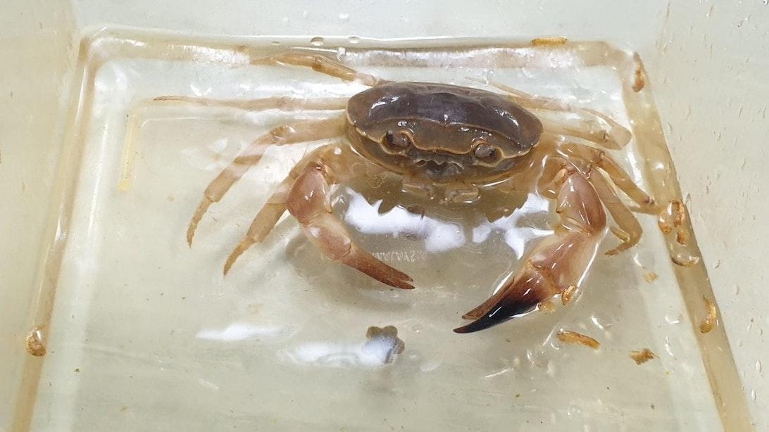 Bijzondere krab gevonden bij vuilcontainer in Utrechtse wijk Overvecht