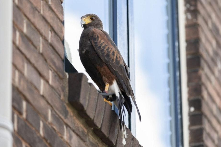 Roofvogel trekt veel bekijks in Utrechtse binnenstad