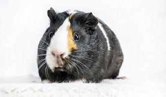 Muizen, kippen, cavia's en katten: lichte daling dierproeven Universiteit Utrecht en UMC Utrecht