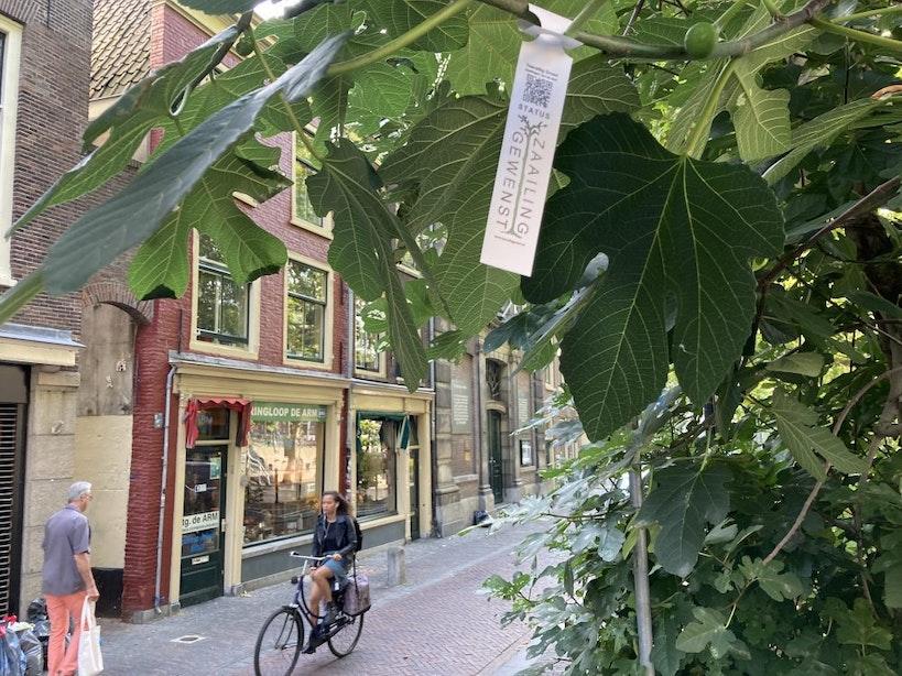Vijgenboom aan Utrechtse Oudegracht krijgt als eerste de status 'Zaailing Gewenst'